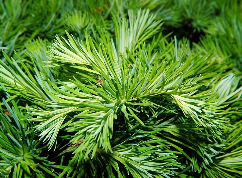 alberi di natale, albeti veri, alberi veri, consegna gratuita