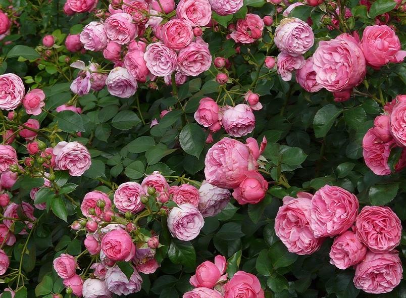 rose, rosai, rampicanti, rifiorenti, profumate