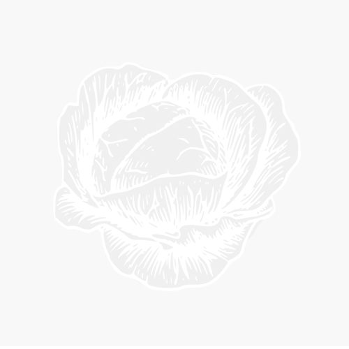 ZINNIA ELEGANS - POP ART GOLDEN E RED-