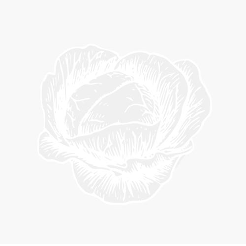 DAHLIA NANA DOPPIA - WHITE PEARL -