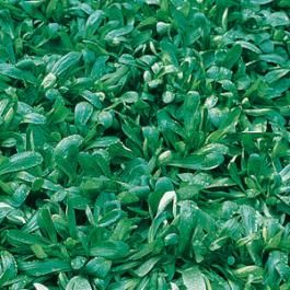 CORN SALAD  - VALGROS  - tape seeds