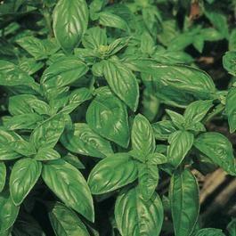 BASIL - ITALIANO CLASSICO - tape seeds