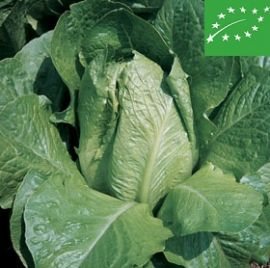 ROMAINE LETTUCE  -BIONDA DEGLI ORTOLANI- organic