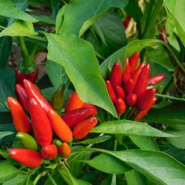 HOT PEPPER  -DIAVOLICCHIO CALABRESE- NEW SELECTION
