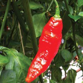 Naga Morich Hot Pepper