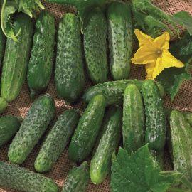CUCUMBER HYBRID F1 - REGAL - (for pickling)