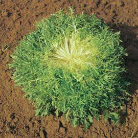 CHICORY ENDIVE - RICCIUTISSIMA D'INGEGNOLI -tape seeds