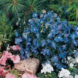 DELPHINIUM GRANDIFLORUM -SUMMER BLUES-
