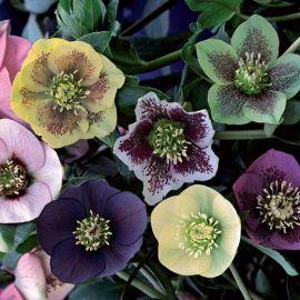 HELLEBORUS (ELLEBORO) -WINTER FLOWERING MIX- (ROSA DI NATALE)