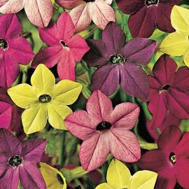 NICOTIANA HY F1 IN MISCUGLIO