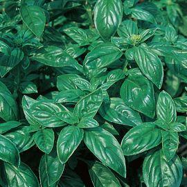 BASILICO - ITALIANO CLASSICO - (basilico genovese)