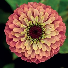 """ZINNIA """"Queen Red Lime"""""""