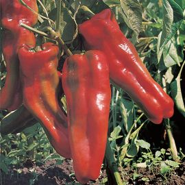 SWEET PEPPER -MARCONI ROSSO-