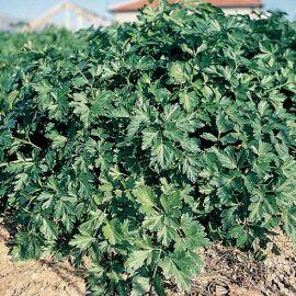 PREZZEMOLO GIGANTE D'ITALIA -IN PILLOLE O GRUMI  MULTISEM (più semi in una sola pillola)
