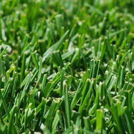KIKUYU (Pennisetum Clandestinum) - Macroterma