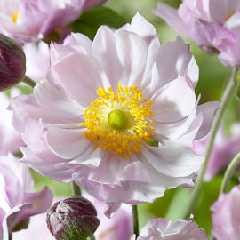 ANEMONE GIAPPONESE-QUEEN CHARLOTTE-