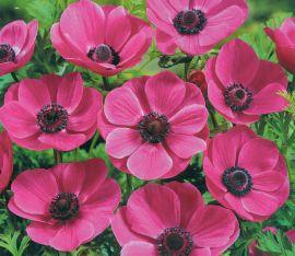 ANEMONE A FIORE SEMPLICE - SYLPHIDE - fiori semplici VIOLETTI