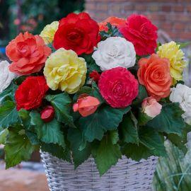 BEGONIA a fiori grandi doppi-SUPERBA MIX-