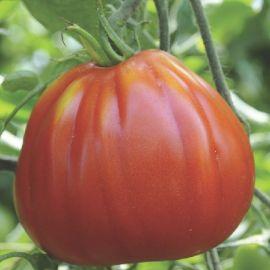POMODORO -RED PEAR- selezione Piriform (Cuore di bue di Albenga)