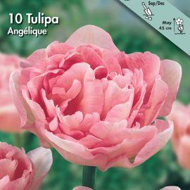 TULIPANO DOPPIO -ANGELIQUE-