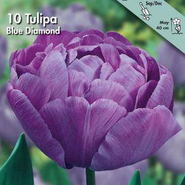 TULIPANO DOPPIO -BLUE DIAMOND-