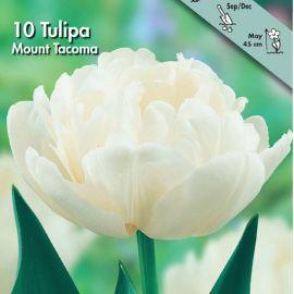 TULIPANO DOPPIO -MOUNT TAKOMA-