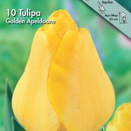 TULIPANO DARWIN IBRIDO -GOLDEN APELDOORN-