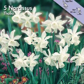 NARCISO POETAZ -TRIANDUS THALIA-