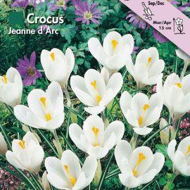 CROCUS A GRANDE FIORE -JEANNE D'ARC-