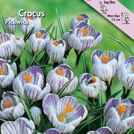 CROCUS A GRANDE FIORE -PICKWICK-