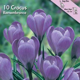 CROCUS A GRANDE FIORE -REMEMBRANCE-