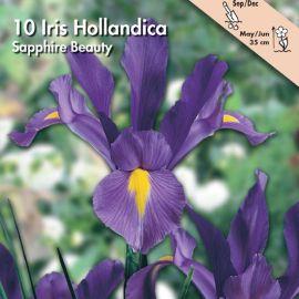 IRIS HOLLANDICA -SAPPHIRE BEAUTY-