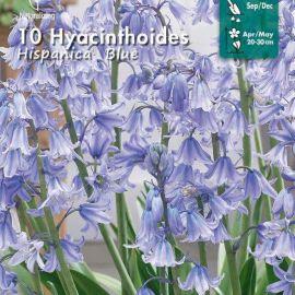 HYACINTHOIDES - HISPANICA BLUE