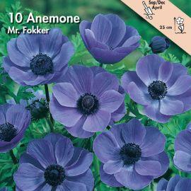 ANEMONE -MR. FOKKER- (Coronaria)