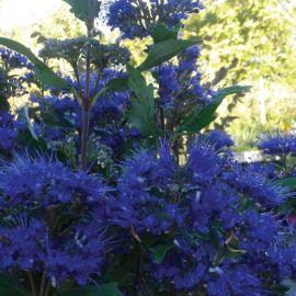 CARYOPTERIS CLANDONENSIS -GRAND BLUE-