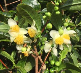 CAMELIA SINENSIS  a fiore bianco