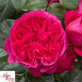 ROSA - ROSAIO RAMPICANTE-DEEP LOVE®