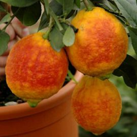 LIMONE A BUCCIA ROSSA -Citrus Limon-