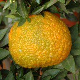 CHINOTTO CALABRESE. (Citrus myrtifolia)