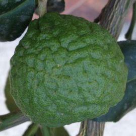 COMBAVA -Citrus hystrix-