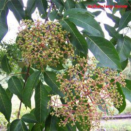 EVODIA TETRADIUM DANIELLII-(albero del miele)
