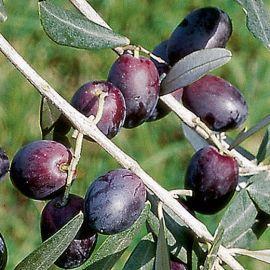 OLIVI - PENDOLINO (Varietà da olio) -