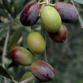 OLIVI  - TAGGIASCA (Varietà da olio e da mensa) - Autofertile -