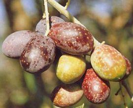 OLIVO - CASALIVA (Varietà da olio) -
