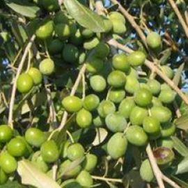 OLIVO - LECCIO DEL CORNO(Varietà da olio) -
