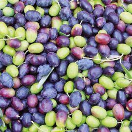 OLIVO - CORREGGIOLO DI PENNITA(Varietà da olio) -
