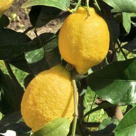 LIMONE -MEYER- (Citrus meyeri)
