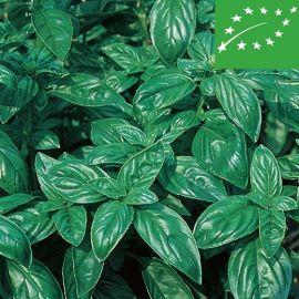 BASIL - ITALIANO CLASSICO - ( Genovese) -organic