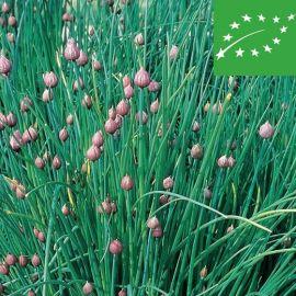 CHIVES (Allium schoenoprasum) -organic