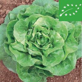BUTTERHEAD LETTUCE  -MERAVIGLIA D'INVERNO- organic